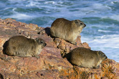 A group of Cape Hyrax also known as a dassie Royalty Free Stock Image