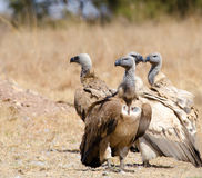 Group of 4 Cape Vultures Royalty Free Stock Photography