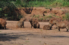 Group of capybaras Royalty Free Stock Image