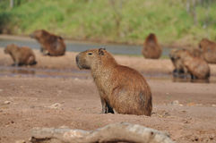 Group of capybaras Stock Photography