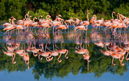 Group of the Caribbean flamingo standing in water with reflection. Cuba. Stock Photos
