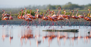 Group of the Caribbean flamingo standing in water with reflection. Cuba. Stock Images