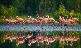 Group of the Caribbean flamingo standing in water with reflection. Cuba. Stock Photo