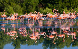 Group of the Caribbean flamingo standing in water with reflection. Cuba. Stock Image