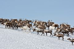 Group of caribou. Caribou group on pastures in the mountains of Kamchatka in Russia stock photos