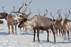 Group of caribou. Caribou group on pastures in the mountains of Kamchatka in Russia stock photo