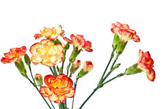 Group of Carnation Stock Image
