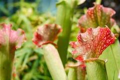 Group of carnivorous carnivorous predatory plants stock image