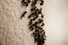 Group of carpenter ants on the wall Royalty Free Stock Photography