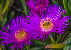 Group of carpobrotus edulis flowers stock images