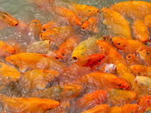 A group of carps in a pond Stock Photos
