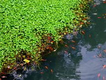 A group of carps in a pond Royalty Free Stock Photos
