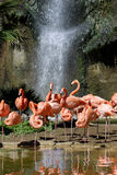 Group of Carribean flamingos Royalty Free Stock Photos