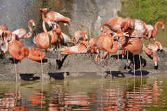 Group of Carribean flamingos Royalty Free Stock Image