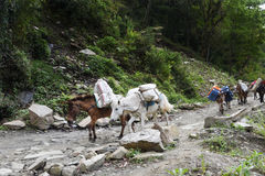 Group of the carrying horses, in Nepal Stock Photography