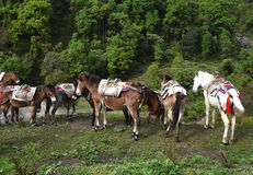 Group of the carrying horses, in Nepal Royalty Free Stock Image