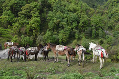 Group of carrying horses, in Nepal Royalty Free Stock Images