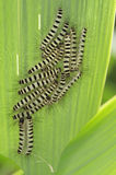 Group of caterpillar on plant Stock Photo
