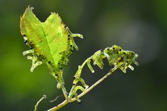 A group of caterpillars Royalty Free Stock Images