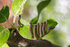Group of caterpillars on a leaf of apple tree Royalty Free Stock Image