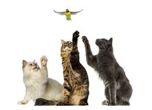 Group of cats chasing a lovebird, isolated royalty free stock image
