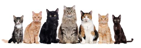 A group of cats of different breeds sitting in a raw. In a white background Royalty Free Stock Image