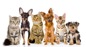 Group of cats and dogs in front. looking at camera. isolated. On white royalty free stock photo