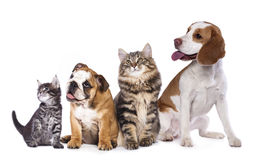 Group of cats and dogs in front of white background. Puppy and kitten , Group of cats and dogs in front of white background royalty free stock photos