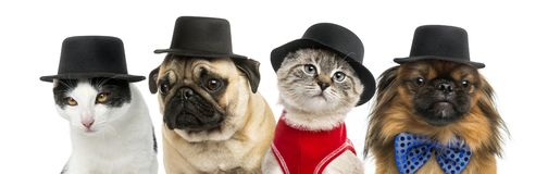 Group of cats and dogs wearing a black hat. Isolated on white royalty free stock photography