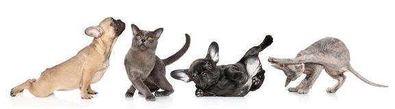 Group of cats and dogs in yoga poses royalty free stock photos
