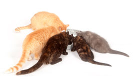 Group of cats feeding Stock Photography