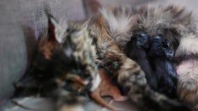 Mother Maine Coon Cat Licks Wet Newborn Kitten Stock Footage