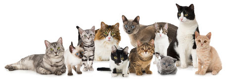 Group of cats. Many different cats isolated on white Royalty Free Stock Image