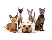 Group of cats posing with one dog. White background, Humor, Part of an animal theme series Stock Photo