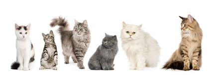Group of cats in a row : Norwegian, Siberian and p Stock Photo