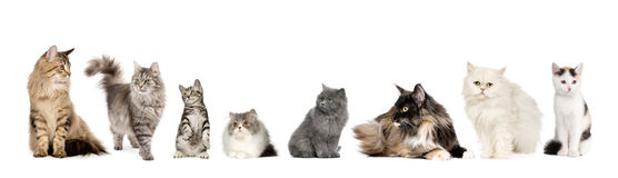 Group of cats in a row : Norwegian, Siberian and p royalty free stock photo
