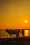 A group of cattle with the beautiful sunset backdrop Stock Photos