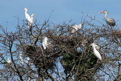 Group of Cattle Egret and Grey Heron on some branches Royalty Free Stock Photo