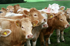 Group of cattle in field in the English Lakes. Stock Image