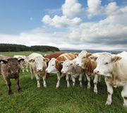 A group of cattle Stock Photos