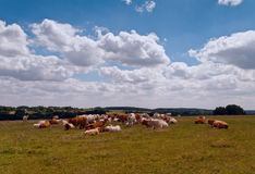 Group of cattle Stock Photos