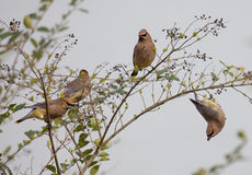 Group of Cedar Waxwings Royalty Free Stock Photography