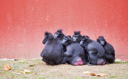 Group of Celebes crested macaques Macaca nigra Stock Images
