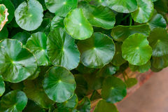 A group of Centella asiatica. In the river Stock Image