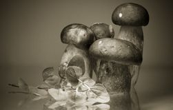 Group of cep porcini boletus with artistic touch in black and white sepia background backdrop cooking concept Royalty Free Stock Image
