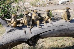Group of Chacma baboon young Royalty Free Stock Images