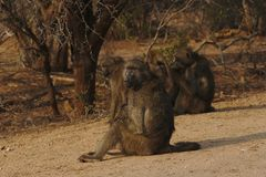 Group of Baboons Papio ursinus sitting at the edge of the bush, Kruger National Park, South Africa. royalty free stock image