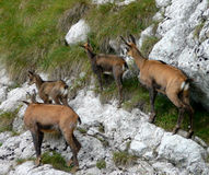 Group of Chamois Royalty Free Stock Images