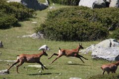 Group of chamois galloping in a meadow Stock Image