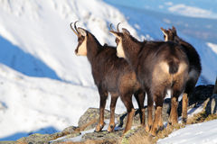 Group of Chamois at winter in Slovakia Stock Image